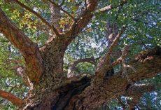 Ambiente: un rituale per tenere in vita gli alberi da sughero