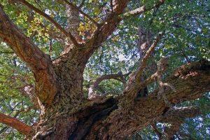 alberi da sughero